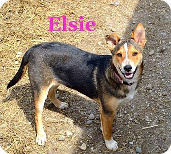 Shiba Inu Mix Dog for adoption in Jasper, Indiana - Elsie