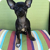 Adopt A Pet :: Juju - Encino, CA