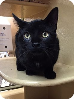 Domestic Shorthair Kitten for adoption in Morganton, North Carolina - Bomani