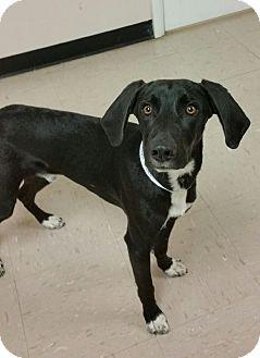 Labrador Retriever/Hound (Unknown Type) Mix Dog for adoption in Chambersburg, Pennsylvania - Maxx