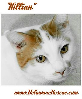 Domestic Shorthair Cat for adoption in Seaford, Delaware - Killian