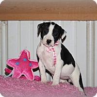 Adopt A Pet :: Lacey - Brattleboro, VT