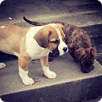 Adopt A Pet :: Boston - Broken Arrow, OK