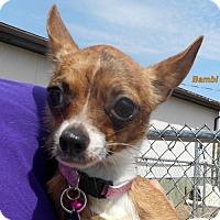 Adopt A Pet :: Bambi - Oskaloosa, IA