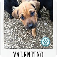 Adopt A Pet :: Valentino - Kimberton, PA