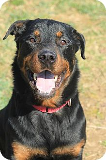 Rottweiler Mix Dog for adoption in Frederick, Pennsylvania - Sparky