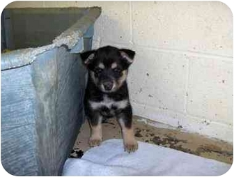 Husky/Chow Chow Mix Puppy for adoption in Ephrata, Pennsylvania - Huskie / chow mix