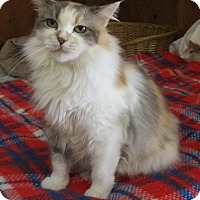 Calico Cat for adoption in Oakland, Oregon - Gwen