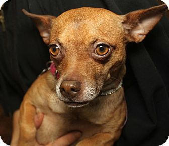 Chihuahua Mix Dog for adoption in Detroit, Michigan - Cinnamon-Adopted!