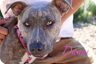American Pit Bull Terrier Mix Dog for adoption in Gunnison, Colorado - Danni