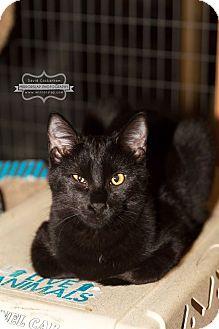 Domestic Shorthair Kitten for adoption in Monterey, Virginia - Jasper  $35 adoption special