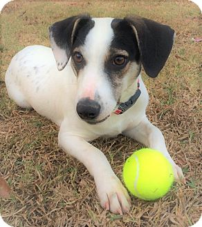 Terrier (Unknown Type, Medium) Mix Dog for adoption in Saratoga Springs, New York - Nick ~ ADOPTED!