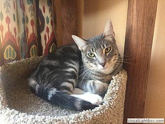 Domestic Shorthair Kitten for adoption in Westchester, California - Cooper