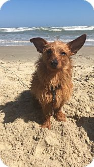 Cairn Terrier/Terrier (Unknown Type, Small) Mix Dog for adoption in Portland, Oregon - Artie