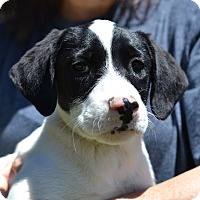 Adopt A Pet :: Oolong - Tea Litter - Acworth, GA