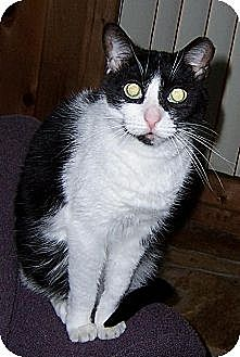 Domestic Shorthair Cat for adoption in Melbourne, Florida - Dot