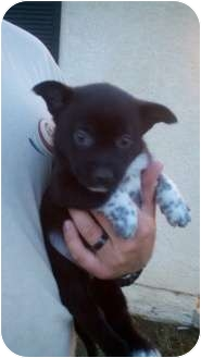 Border Collie/Australian Cattle Dog Mix Puppy for adoption in Bakersfield, California - Rhino