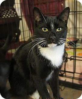 Domestic Shorthair Cat for adoption in Long Beach, California - Cody
