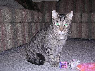 Domestic Shorthair Cat for adoption in Rockaway, New Jersey - Sandy