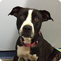 Boxer Mix Dog for adoption in Jupiter, Florida - Tulip