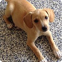 Adopt A Pet :: Lacy - Washington, PA