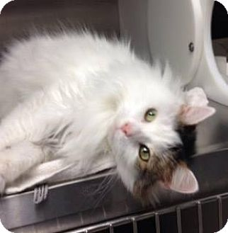 Domestic Longhair Cat for adoption in Indianapolis, Indiana - Fluffy