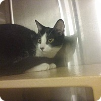 Domestic Shorthair Kitten for adoption in Lancaster, California - Tyme