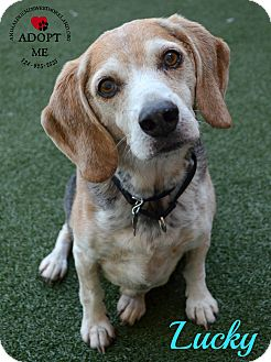Beagle Mix Dog for adoption in Youngwood, Pennsylvania - Lucky