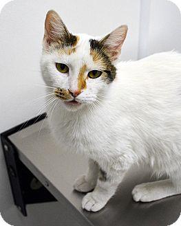 Calico Cat for adoption in Springfield, Illinois - Noel