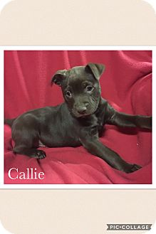 Border Collie/Labrador Retriever Mix Puppy for adoption in Smithfield, North Carolina - Callie
