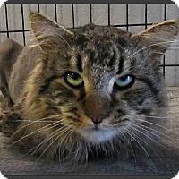 Adopt A Pet :: MC Max - Gilbert, AZ