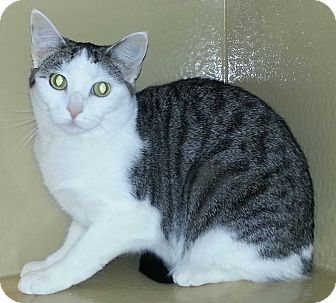 Domestic Shorthair Cat for adoption in Statesville, North Carolina - Petey