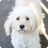 Adopt A Pet :: Abigayle - Norwalk, CT