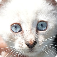 Adopt A Pet :: Chanel - Stanford, CA