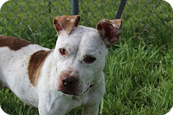 American Staffordshire Terrier Mix Dog for adoption in Danville, Illinois - MRS