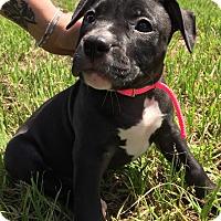 Adopt A Pet :: Star - Ft. Myers, FL
