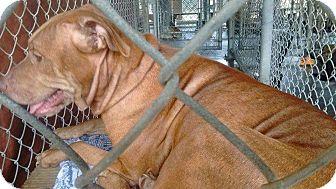 Pit Bull Terrier Mix Dog for adoption in Livingston Parish, Louisiana - Mahalia