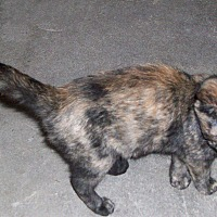 Domestic Shorthair Kitten for adoption in Morriston, Florida - VICKIE