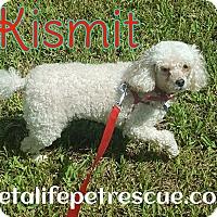 Adopt A Pet :: Kismet - Wellington, FL