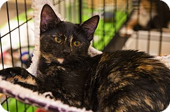 Domestic Shorthair Kitten for adoption in Mooresville, North Carolina - A..  Orva