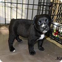 Adopt A Pet :: Mitey - mooresville, IN