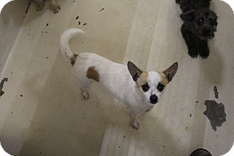 Chihuahua Mix Dog for adoption in Odessa, Texas - A23 James