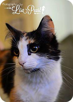 Calico Cat for adoption in Calgary, Alberta - Chloe