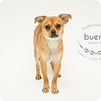 Adopt A Pet :: Bueno - Kansas City, MO