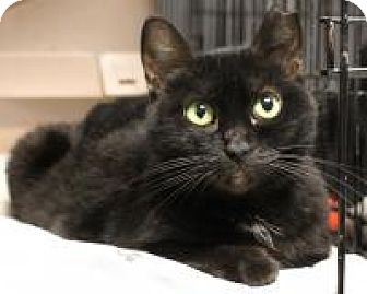 Domestic Shorthair Cat for adoption in Yukon, Oklahoma - Smudge