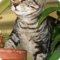 Domestic Mediumhair Kitten for adoption in Salisbury, North Carolina - Ben