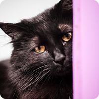 Adopt A Pet :: Powder Puff - Brimfield, MA