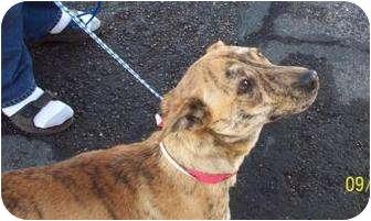Shiba Inu Mix Dog for adoption in Tucson, Arizona - Tigger