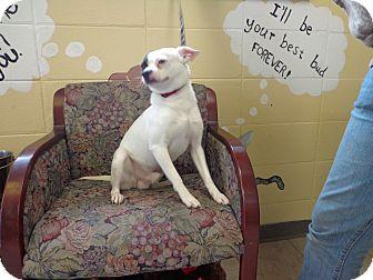 Boston Terrier/Chihuahua Mix Dog for adoption in Crawfordville, Florida - Bandit