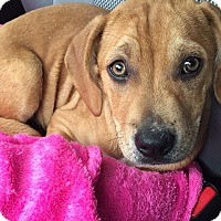 Adopt A Pet :: Ripley - CHICAGO, IL